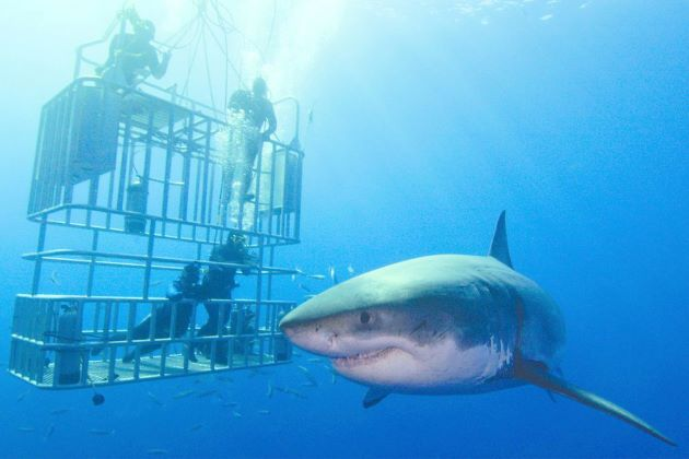 dive with sharks during south africa river cruise vacations
